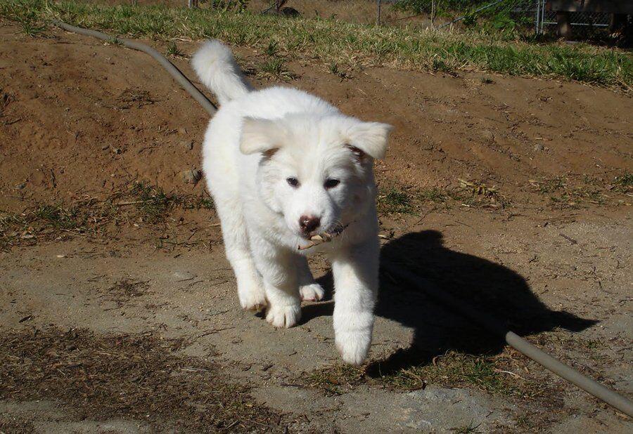Пхунсан: що за собака і чому навколо неї ажіотаж