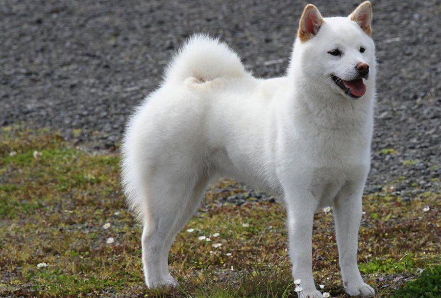Пхунсан: что за собака и почему вокруг нее ажиотаж