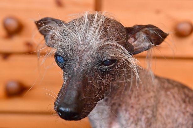У Британії помер найпотворніший пес Чейз, фото