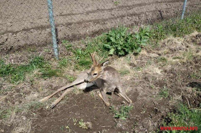 У Вінниці розгорівся конфлікт через збиту козулю: фото і відео