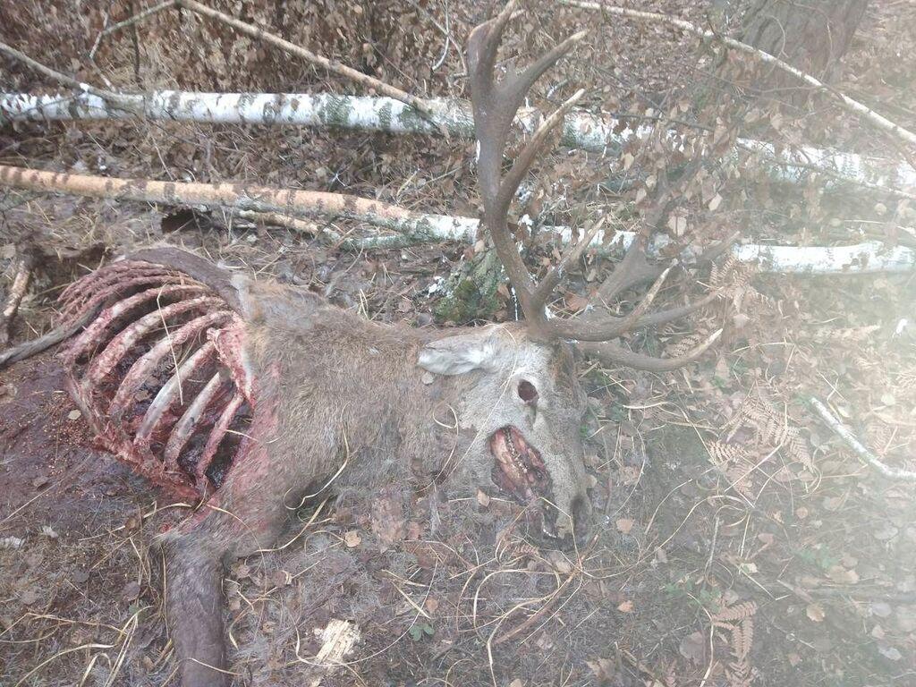 В резиденции президента под Киевом охотники убивают краснокнижных зверей, а туши грызут собаки – эколог