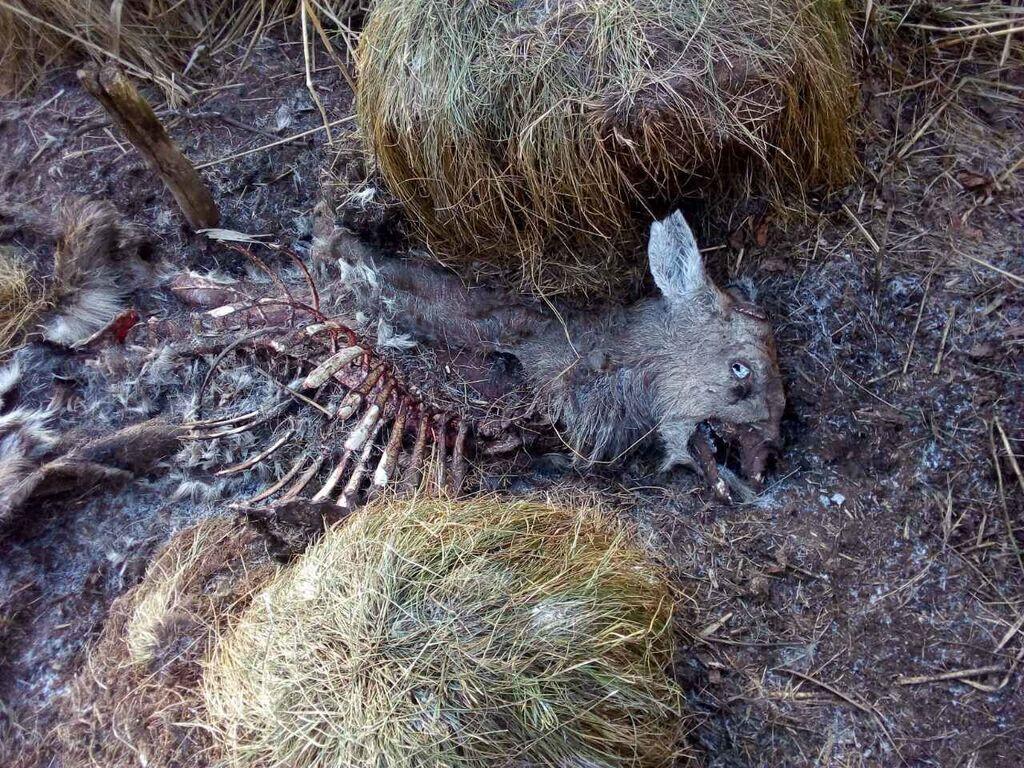У резиденції президента під Києвом мисливці вбивають червонокнижних звірів, а туші гризуть собаки – еколог
