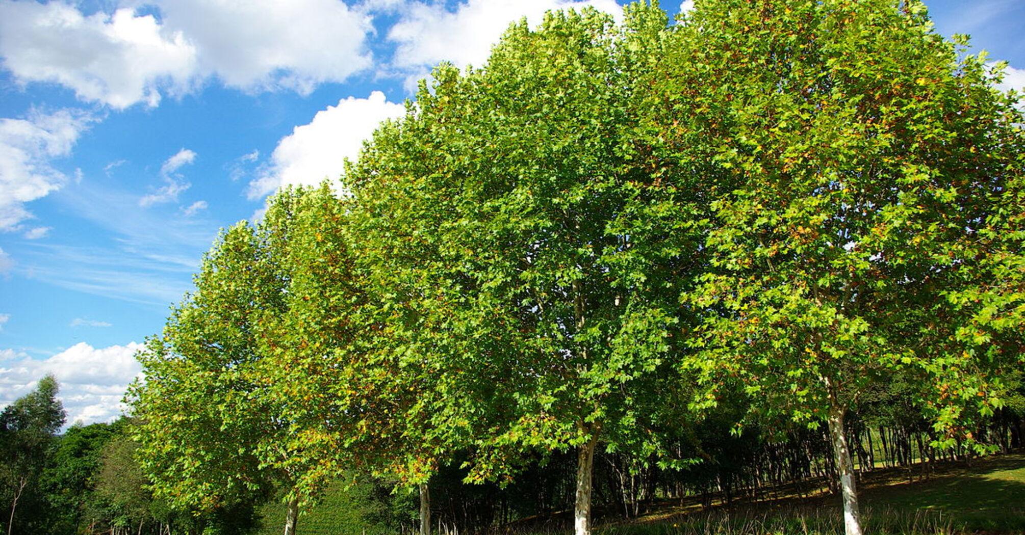 Киян запрошують висадити близько 100 тисяч нових дерев
