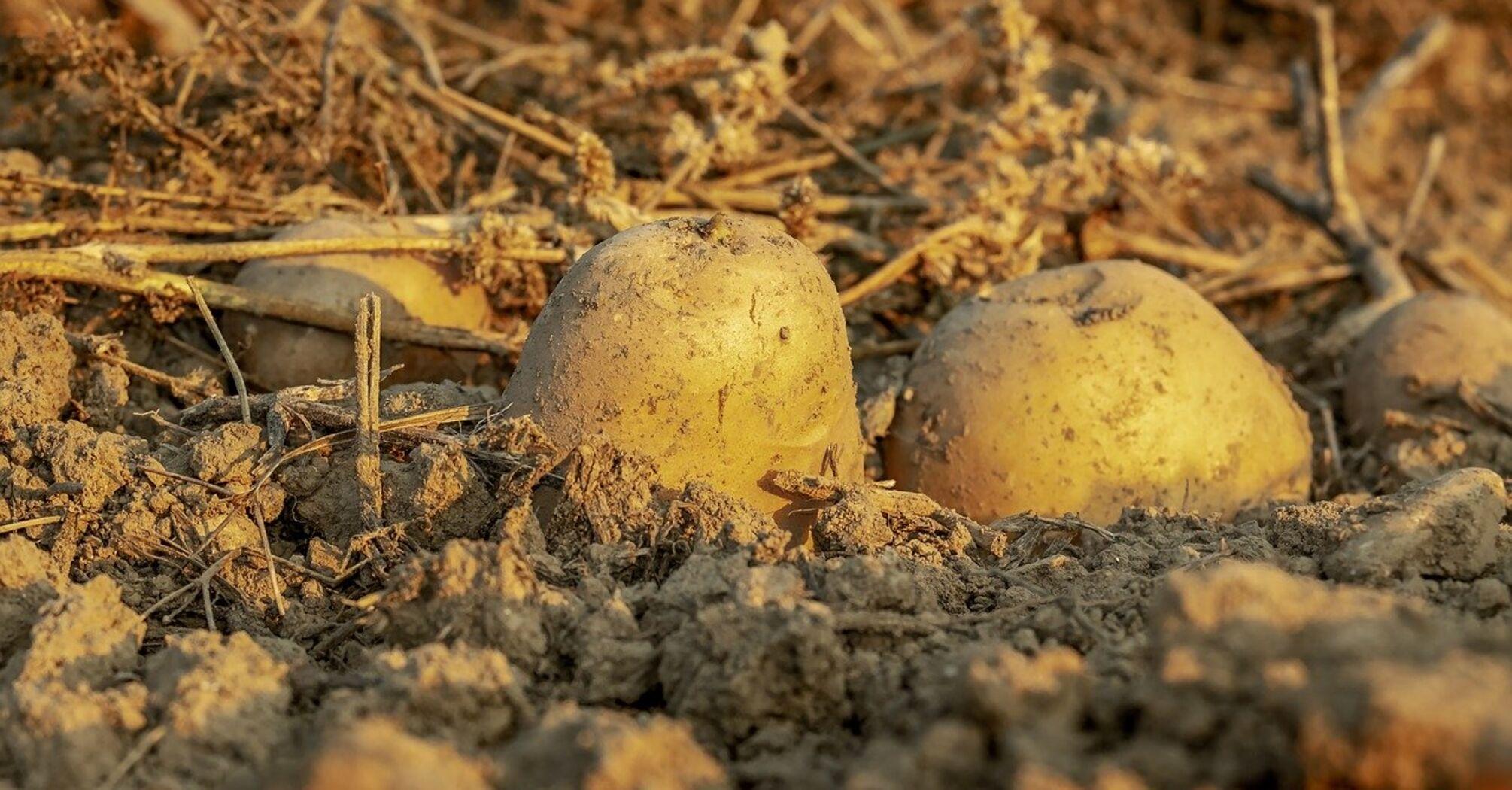 В Украине молодой картофель может остаться гнить на полях